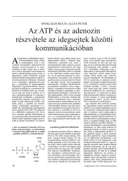 Az ATP és az adenozin részvétele az idegsejtek közötti