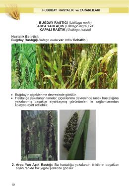 Buğday Rastığı - Sorhocam.com