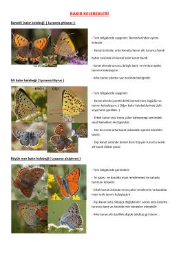 bakır kelebekleri