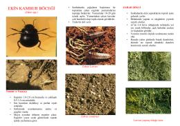ekin kambur böceği - Ankara İl Gıda Tarım ve Hayvancılık Müdürlüğü