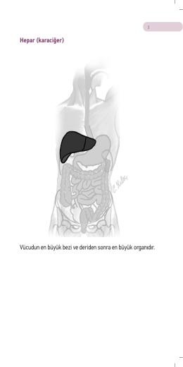 Hepar (karaciğer) Vücudun en büyük bezi ve deriden sonra en