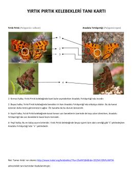 yırtık pırtık kelebekleri tanı kartı