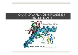 Ökaryotlarda Gen İfadesinin Düzenlenmesi