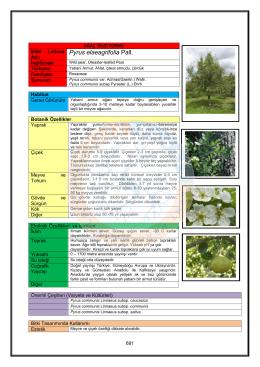 Pyrus elaeagrifolia