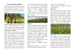 silajlık mısır tarımı - Kütahya İl Gıda Tarım ve Hayvancılık Müdürlüğü