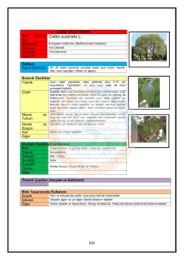 Celtis australis - KABSIS | Kent Ağaçları Bilgi Sistemi