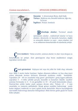 Conium maculatum L. APIACEAE (UMBELLIFERAE)