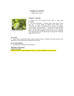 FINDIK GALSĠNEĞĠ (Mykomyia coryli) Tanımı ve YaĢayıĢı