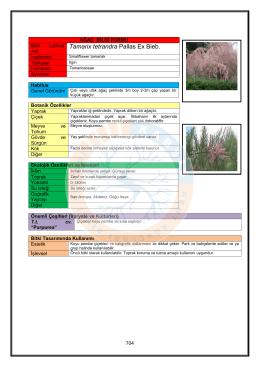 Tamarix tetrandra - KABSIS | Kent Ağaçları Bilgi Sistemi