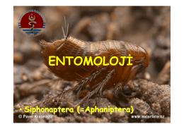 Echidnophaga gallinacea - UzmanVeteriner.Com.tr | Uzman Veteriner
