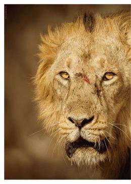 Indie - Lev z Giru