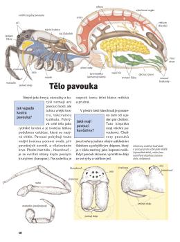Tělo pavouka